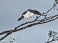 Eagle 1779