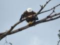 Eagle 1783
