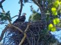 eagle11may16_01