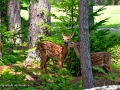 Fawns0023