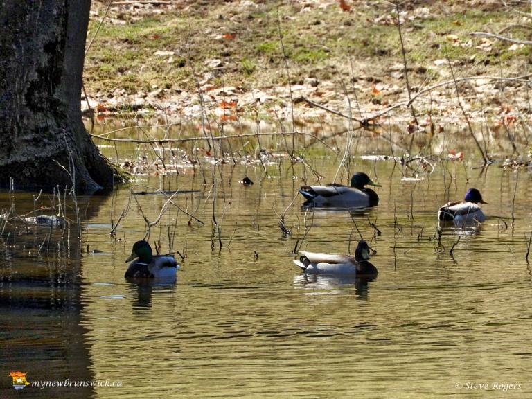Ducks 0220