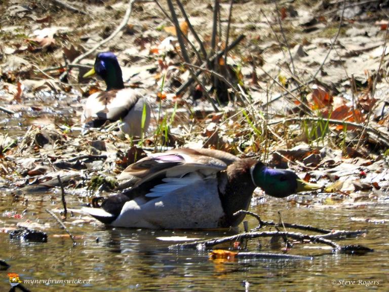 Ducks 0237