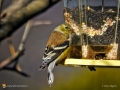 Golden Finch 1914