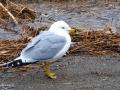 Seagull 1831
