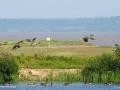 geese on marsh