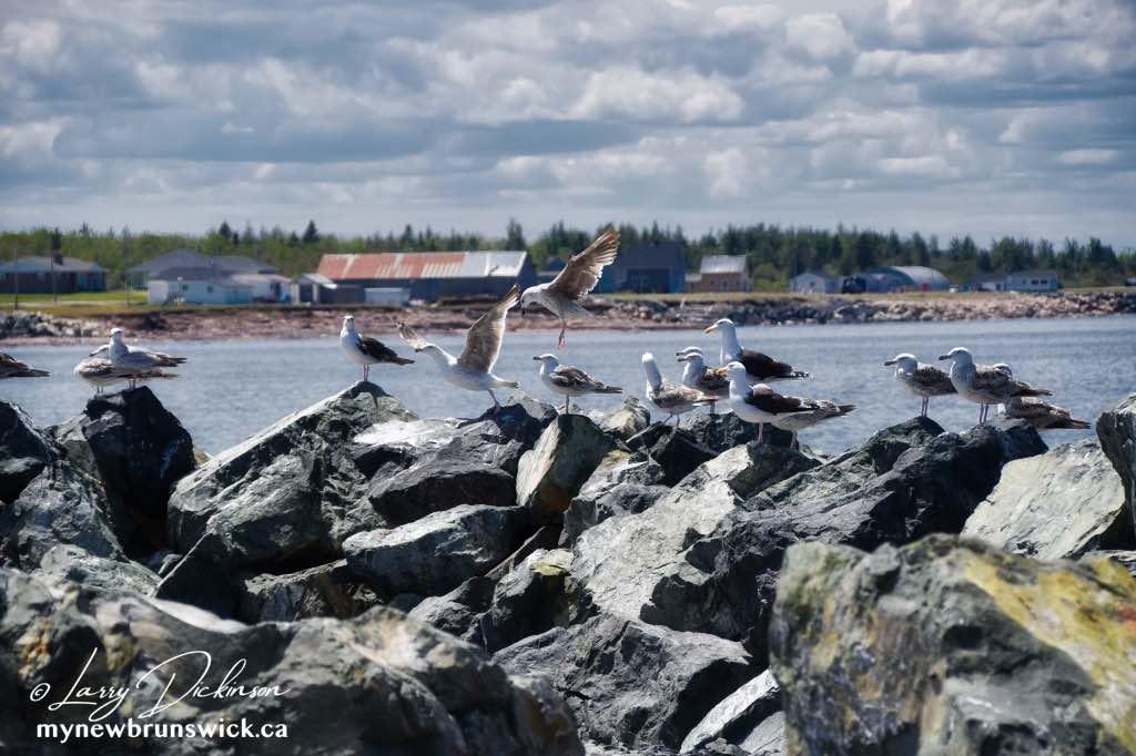 Hungry Gulls Escuminac Wharf©LDD_8349