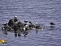 Seaguiis Herring Cove Campobello ©SJR_4288