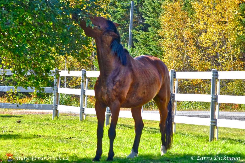 horse_apple_LDD_1670