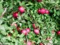 fall2016_apples_LDD_1504