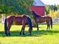 horses_apple_LDD_1665