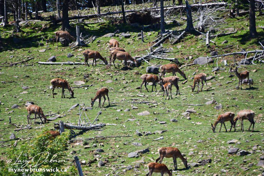 grand manan deer©LDD_8775