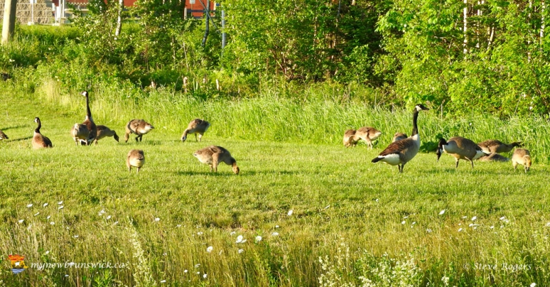 CanadaGeese20160890