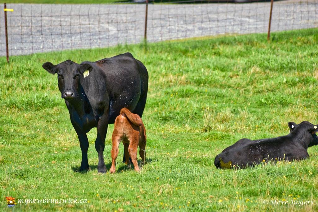 CowsLowerStMarysNBSJR_1338
