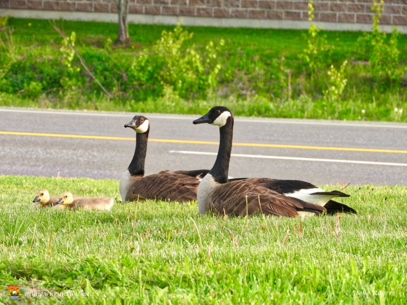 Geese0670