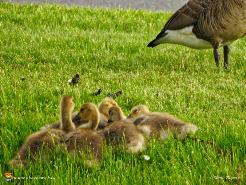 Geese0688
