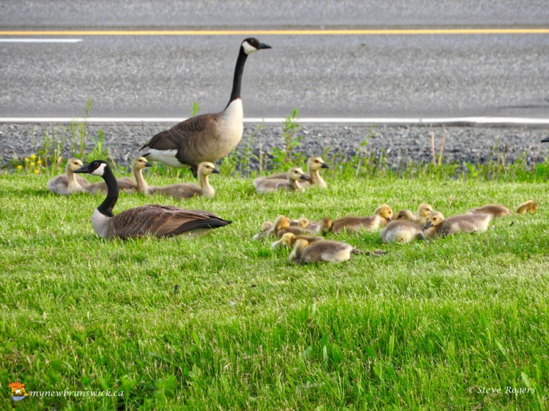 Geese0695