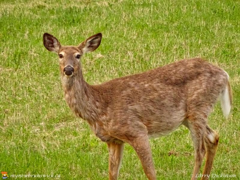 gladyn_deer
