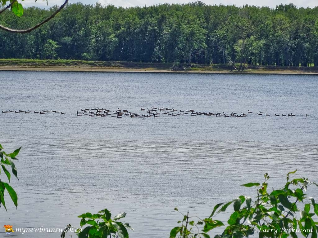 maugerville_geese001