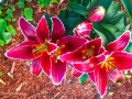 AsianLily20160c
