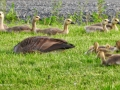 Geese0694