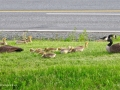 Geese0696