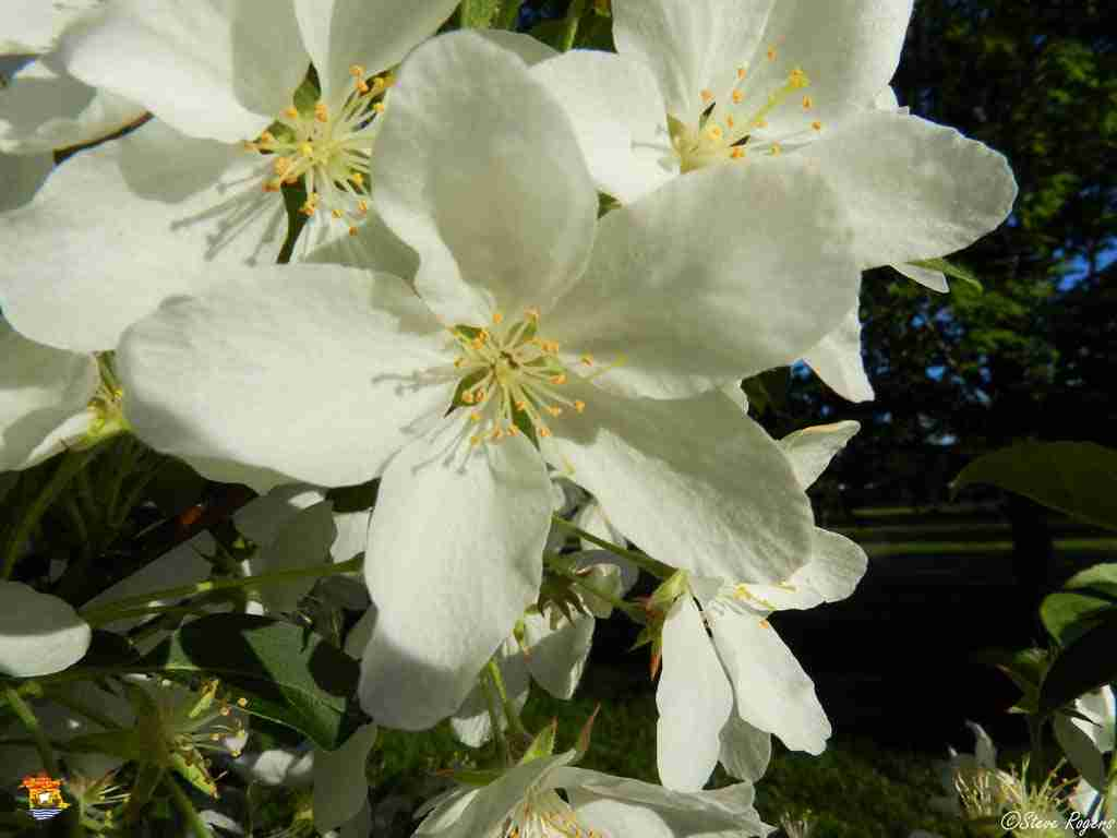 appleblossoms