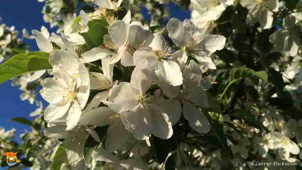 appleblossoms4