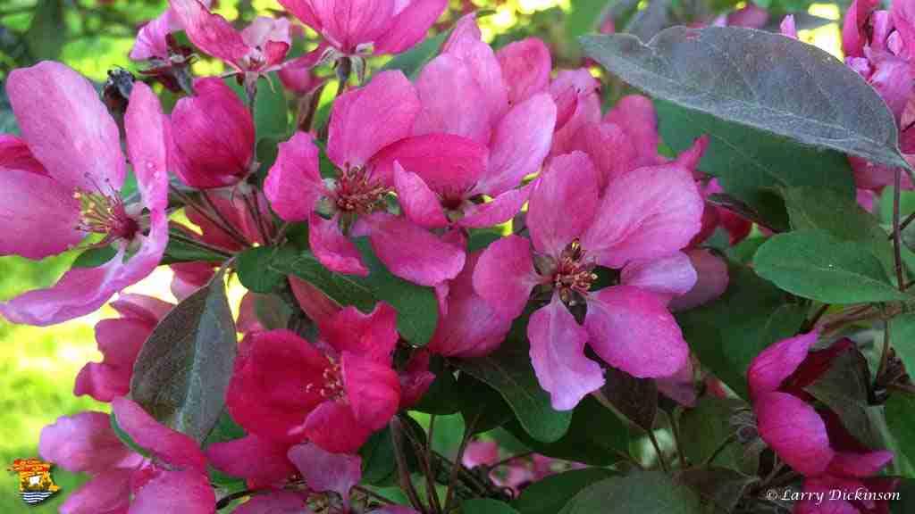 floweringcrab
