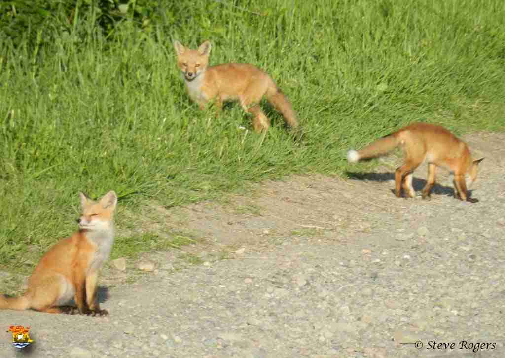 foxes1