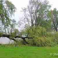 Willow tree on the Green