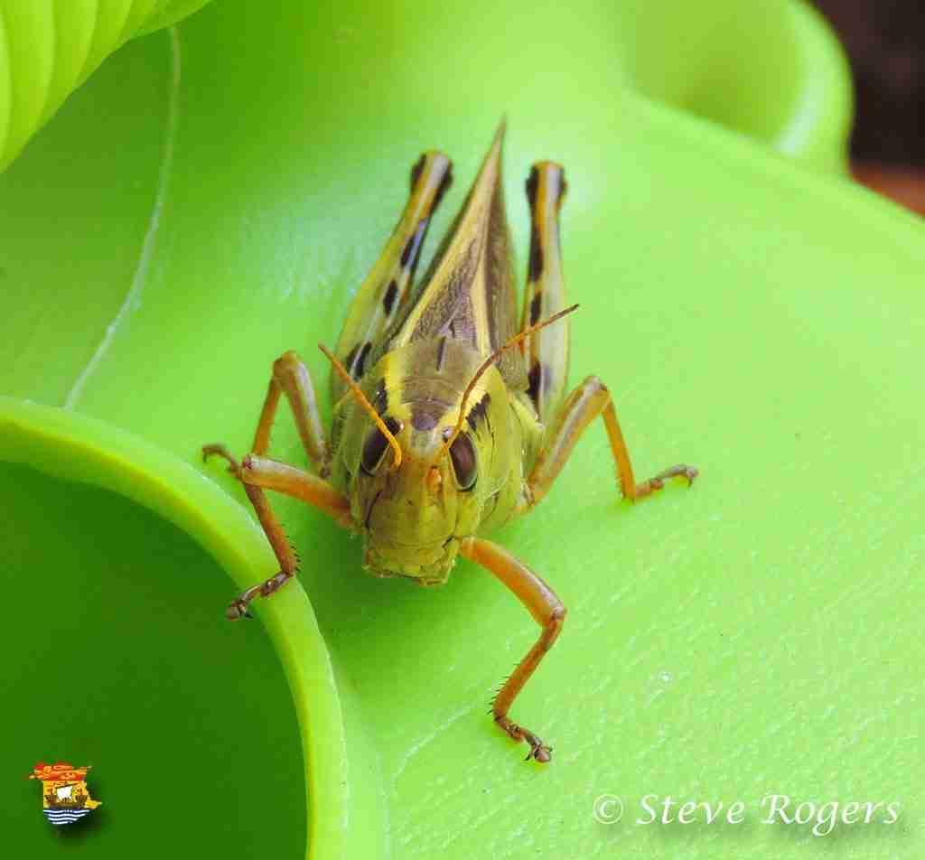 grass hopper2