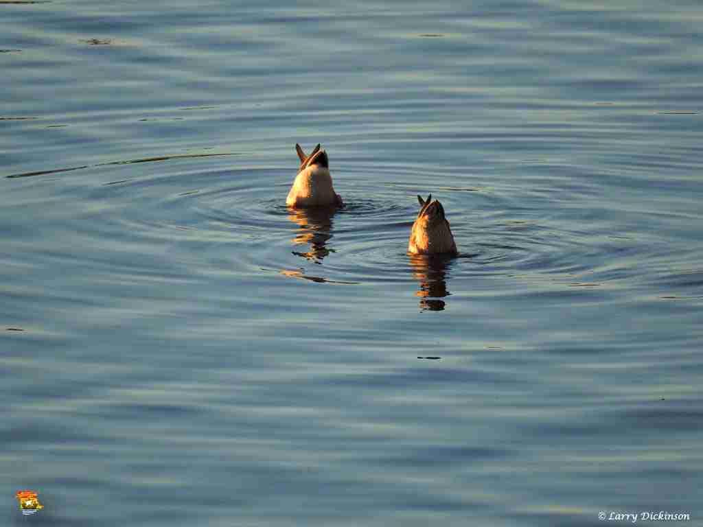 duck002