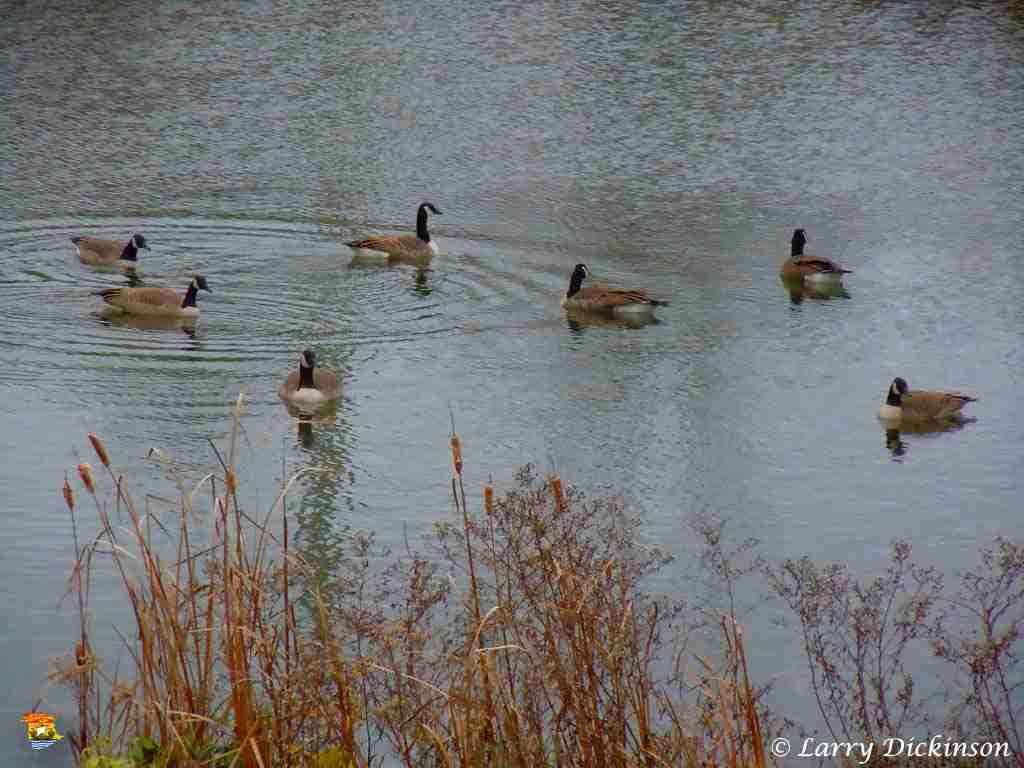 Canada Geese in RCMP Pond