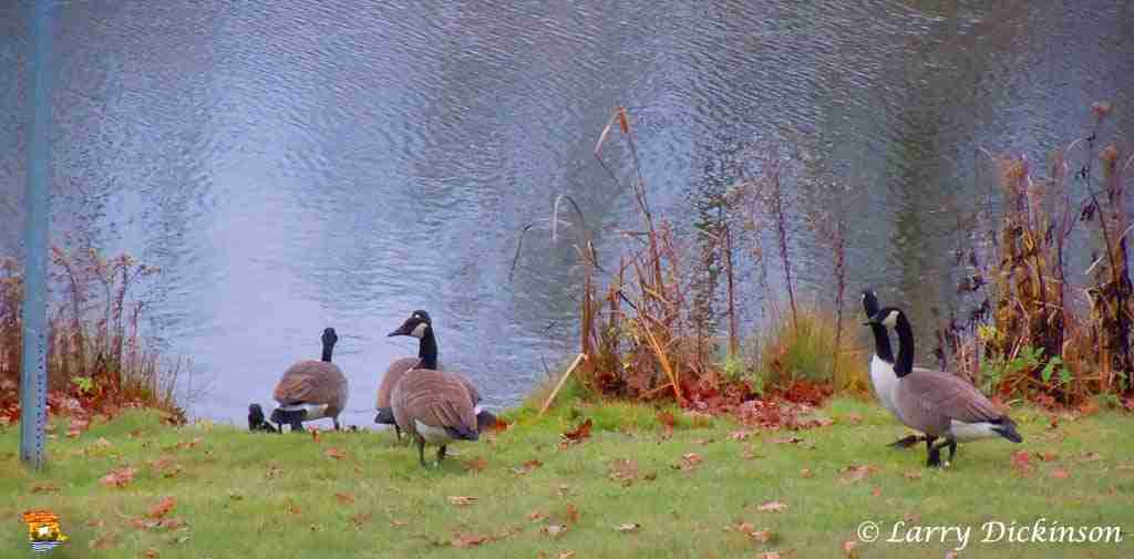 geese03