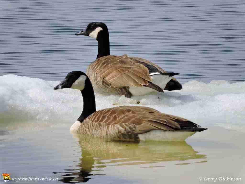 Canada Geese Return