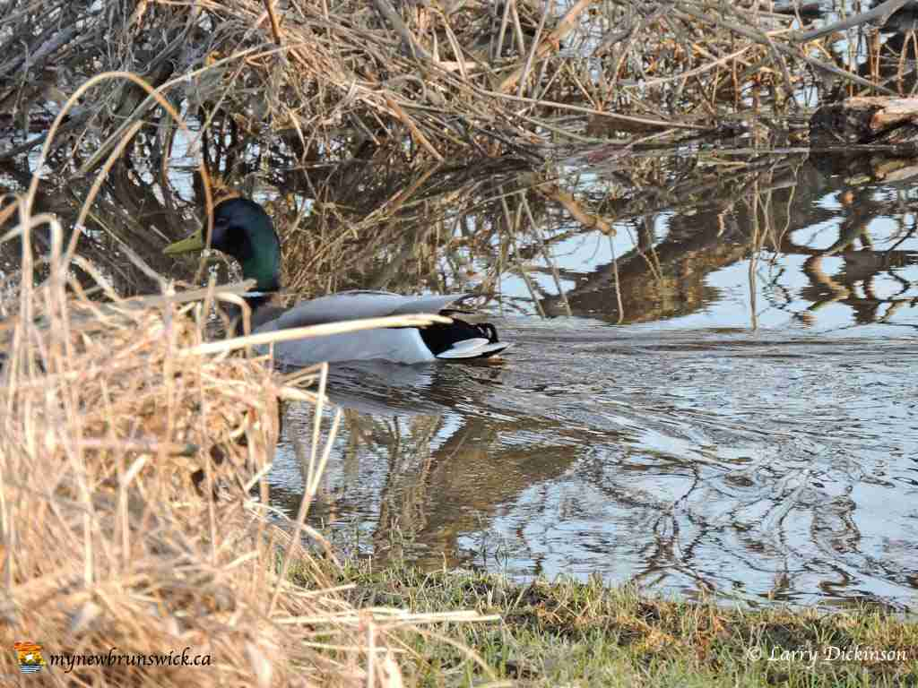 duck003