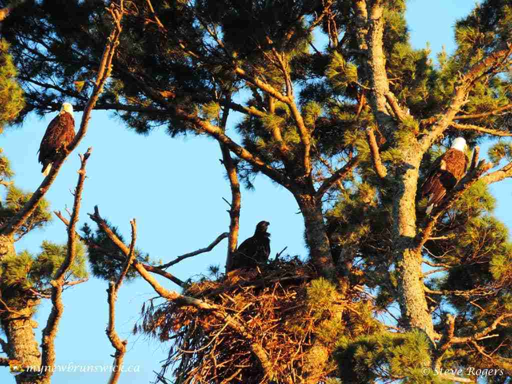 Eagles On The Walking Trail