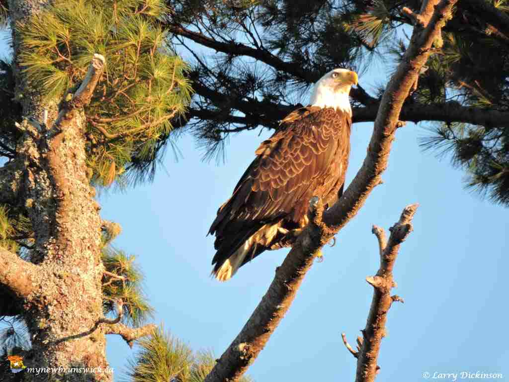 eagles003