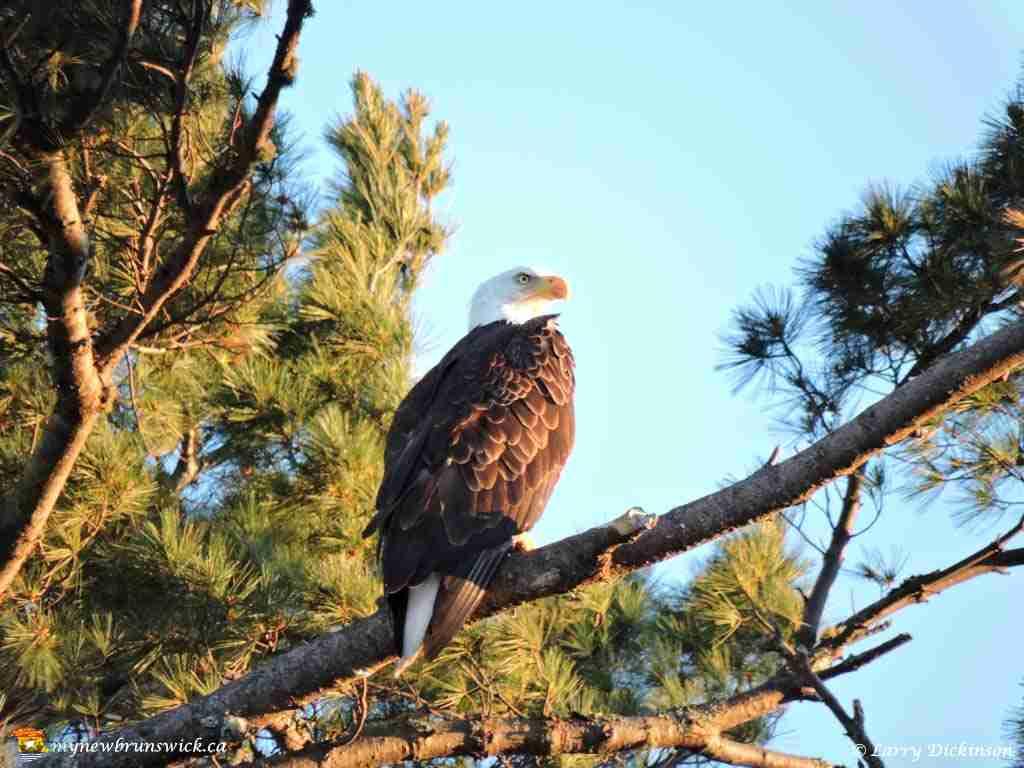 eagles008