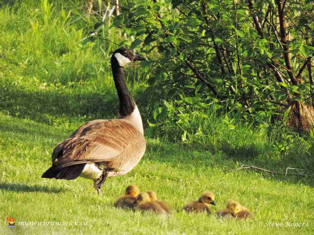 RCMP Fredericton Canada Geese