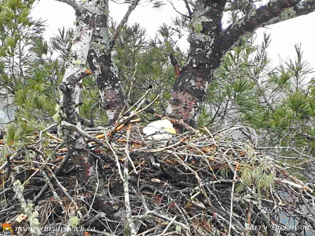 Mother Bald Eagle in nest Fredericton