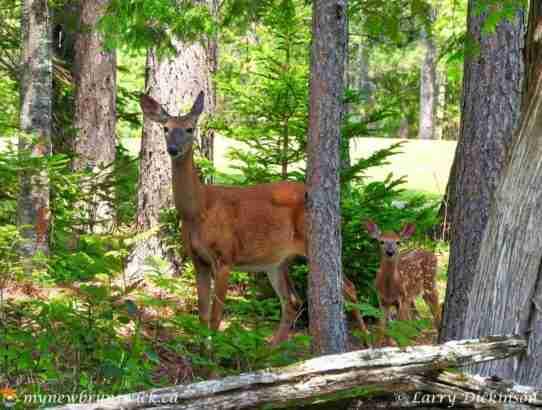 Mactaquac Deer Family