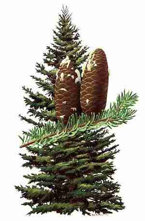 Balsam Fir - Provincial Tree